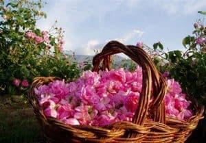 روش تهیه عطر گل محمدی